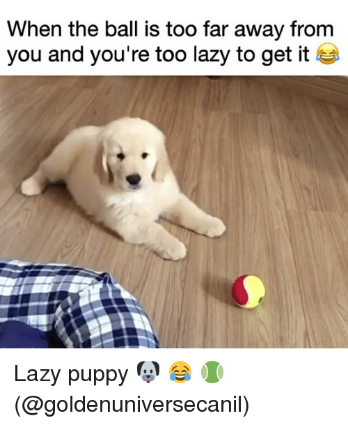 Lazy, Memes, and Puppy: When the ball is too far away from  you and you're too lazy to get it Lazy puppy 🐶 😂 🎾 (@goldenuniversecanil)