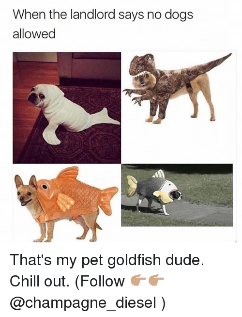 Chill, Dogs, and Dude: When the landlord says no dogs  allowed That's my pet goldfish dude. Chill out. (Follow 👉🏽👉🏽 @champagne_diesel )