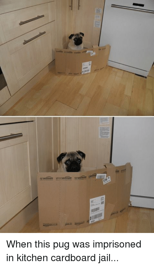 Pugly: When this pug was imprisoned in kitchen cardboard jail...