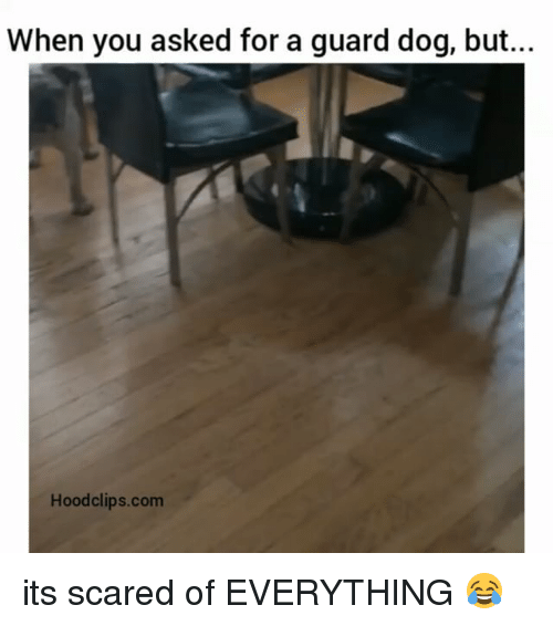 Funny: When you asked for a guard dog, but...  Hood clips.com its scared of EVERYTHING 😂