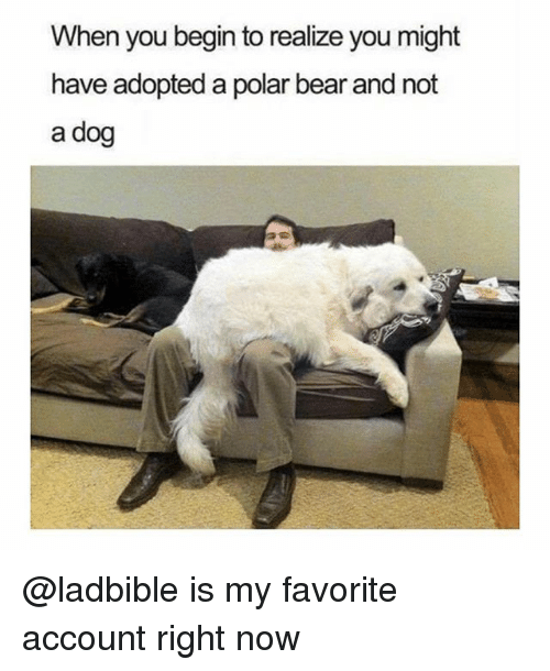 begining: When you begin to realize you might  have adopted a polar bear and not  a dog @ladbible is my favorite account right now