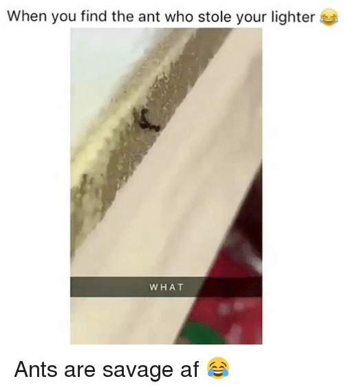 Af, Savage, and Weed: When you find the ant who stole your lighter  WHAT Ants are savage af 😂