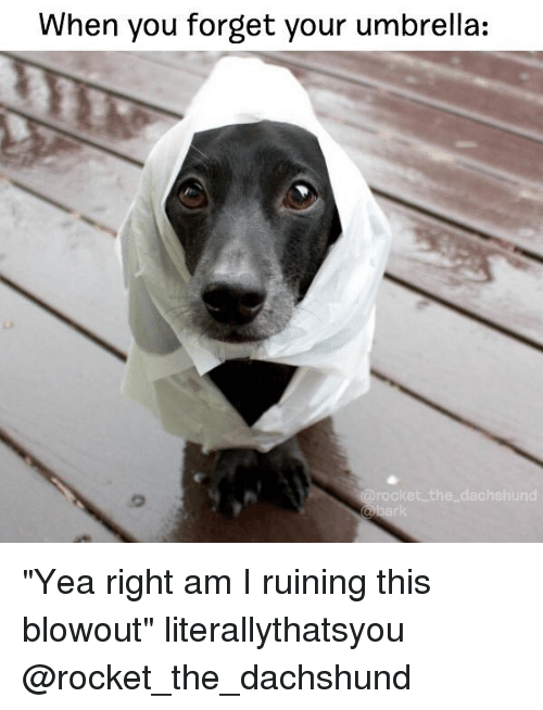 "Memes, 🤖, and Rockets: When you forget your umbrella:  arooket the dachshund ""Yea right am I ruining this blowout"" literallythatsyou @rocket_the_dachshund"