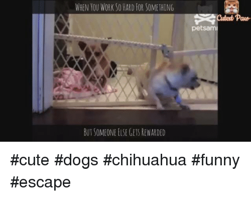 I Shall Build A Fence To Block All Chihuahuas Funny