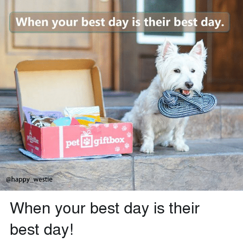 Memes, 🤖, and Westie: When your best day is their best day.  pet giftbox  @happy westie When your best day is their best day!