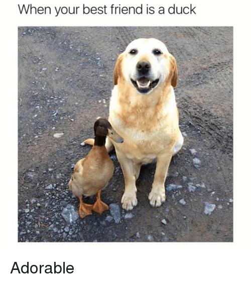 Best Friend, Friends, and Memes: When your best friend is a duck Adorable