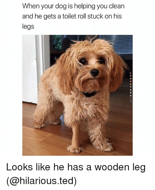 Funny, Ted, and Hilarious: When your dog is helping you clean  and he gets a toilet roll stuck on his  legs Looks like he has a wooden leg (@hilarious.ted)