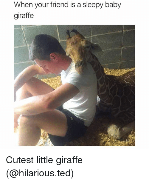 baby giraffe: When your friend is a sleepy baby  giraffe Cutest little giraffe (@hilarious.ted)