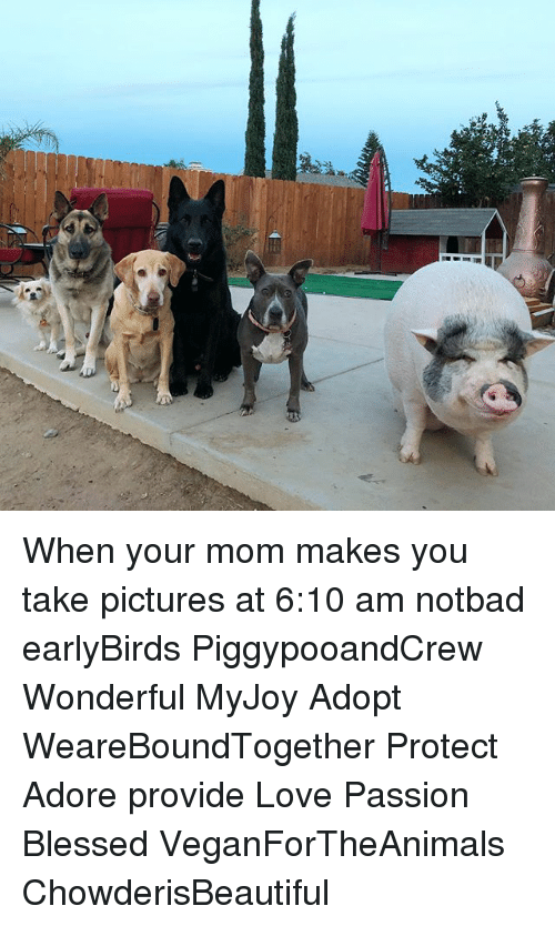 Notbad: When your mom makes you take pictures at 6:10 am notbad earlyBirds PiggypooandCrew Wonderful MyJoy Adopt WeareBoundTogether Protect Adore provide Love Passion Blessed VeganForTheAnimals ChowderisBeautiful