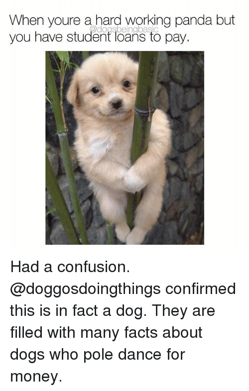 Dogs, Facts, and Memes: When youre a hard working panda but  you have student loans to pay.  @dogsbeingbasic Had a confusion. @doggosdoingthings confirmed this is in fact a dog. They are filled with many facts about dogs who pole dance for money.