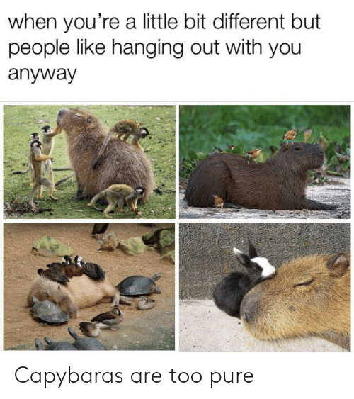 Too Pure: when you're a little bit different but  people like hanging out with you  anyway Capybaras are too pure