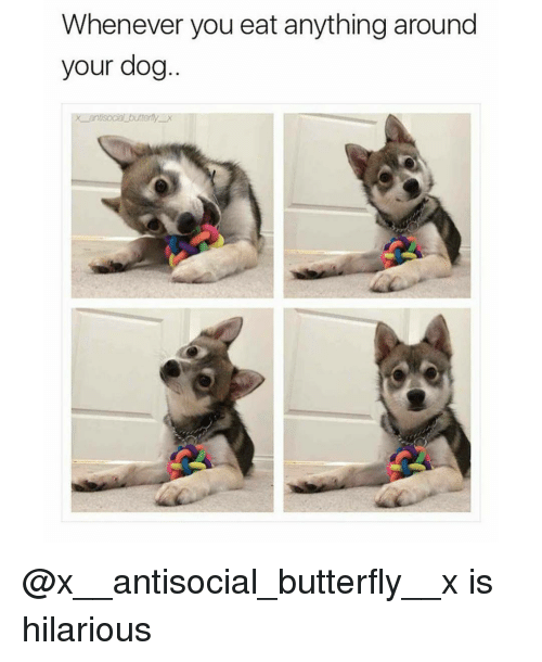 butterflys: Whenever you eat anything around  your dog  terfly X @x__antisocial_butterfly__x is hilarious
