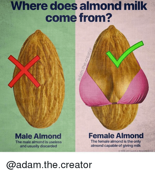 Trendy, Milk, and Creator: Where does almond milk  come from?  Male Almond  The male almond is useless  and usually discarded  Female Almond  The female almond is the only  almond capable of giving milk @adam.the.creator