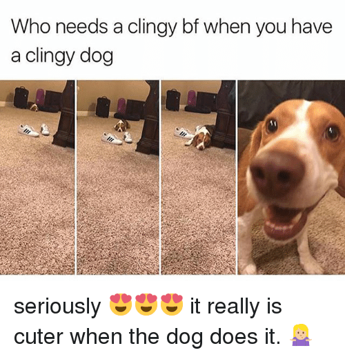 Girl Memes, Dog, and Who: Who needs a clingy bf when you have  a clingy dog seriously 😍😍😍 it really is cuter when the dog does it. 🤷🏼‍♀️