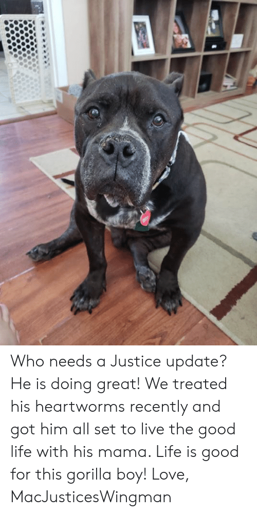 gorilla: Who needs a Justice update? He is doing great! We treated his heartworms recently and got him all set to live the good life with his mama. Life is good for this gorilla boy!   Love, MacJusticesWingman