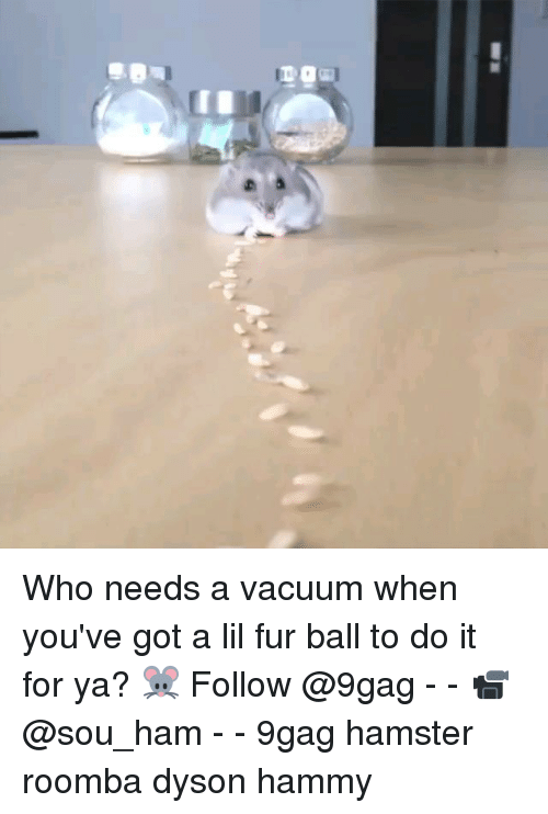roombas: Who needs a vacuum when you've got a lil fur ball to do it for ya? 🐭 Follow @9gag - - 📹 @sou_ham - - 9gag hamster roomba dyson hammy