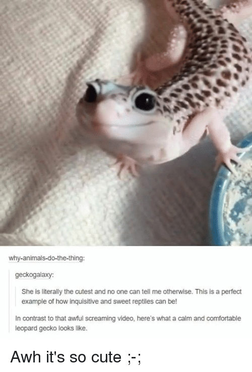 leopard gecko: why-animals-do-the-thing:  geckogalaxy:  She is literally the cutest and no one can tell me otherwise. This is a perfect  example of how inquisitive and sweet reptiles can be!  In contrast to that awful screaming video, here's what a calm and comfortable  leopard gecko looks like. Awh  it's so cute ;-;