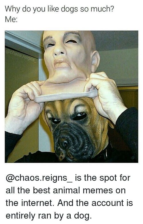Animated Memes: Why do you like dogs so much?  Me  aos reign @chaos.reigns_ is the spot for all the best animal memes on the internet. And the account is entirely ran by a dog.