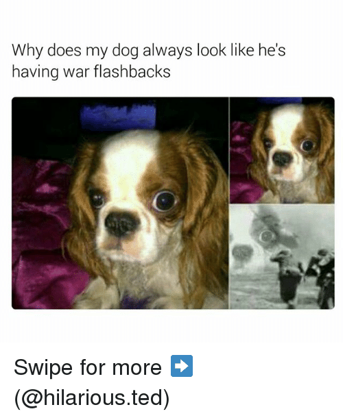 Funny, Ted, and Hilarious: Why does my dog always look like he's  having war flashbacks Swipe for more ➡ (@hilarious.ted)