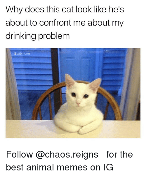 Animals Meme: Why does this cat look like he's  about to confront me about my  drinking problem  adabmoms Follow @chaos.reigns_ for the best animal memes on IG