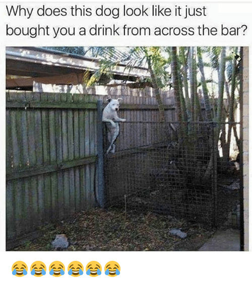 Funny, Dog, and Looking: Why does this dog look like it just  bought you adrink from across the bar? 😂😂😂😂😂😂
