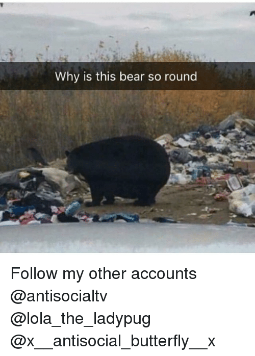 Memes, Bear, and Butterfly: Why is this bear so round Follow my other accounts @antisocialtv @lola_the_ladypug @x__antisocial_butterfly__x