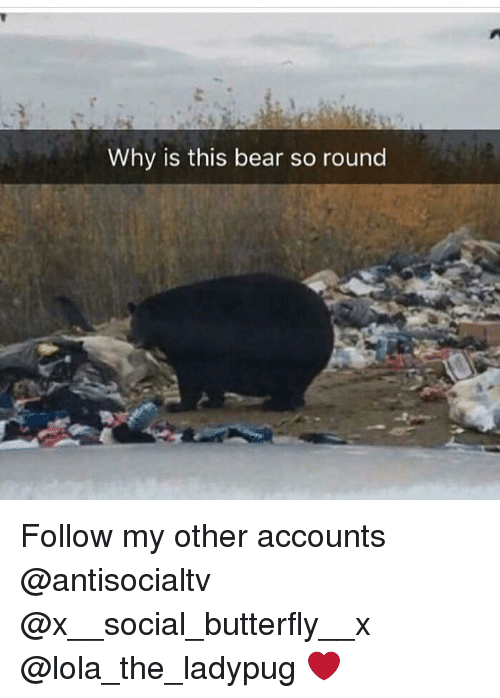 Memes, Bear, and Butterfly: Why is this bear so round Follow my other accounts @antisocialtv @x__social_butterfly__x @lola_the_ladypug ❤️