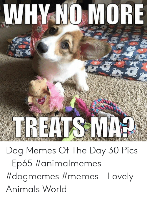 Cupid: WHY NO MORE  चष  Corow  CUPID  TREATS MA? Dog Memes Of The Day 30 Pics – Ep65 #animalmemes #dogmemes #memes - Lovely Animals World