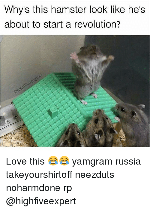 Memes, Hamster, and Revolution: Whys this hamster look like he's  about to start a revolution? Love this 😂😂 yamgram russia takeyourshirtoff neezduts noharmdone rp @highfiveexpert