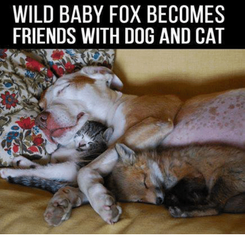 Baby, It's Cold Outside: WILD BABY FOX BECOMES  FRIENDS WITH DOG AND CAT