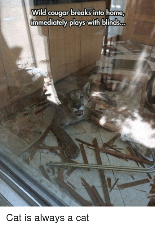 Home, Wild, and Cat: Wild cougar breaks into home  immediately plays with blinds... Cat is always a cat