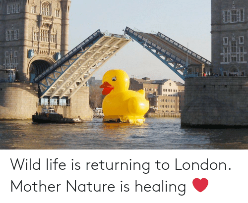Nature: Wild life is returning to London. Mother Nature is healing ❤️