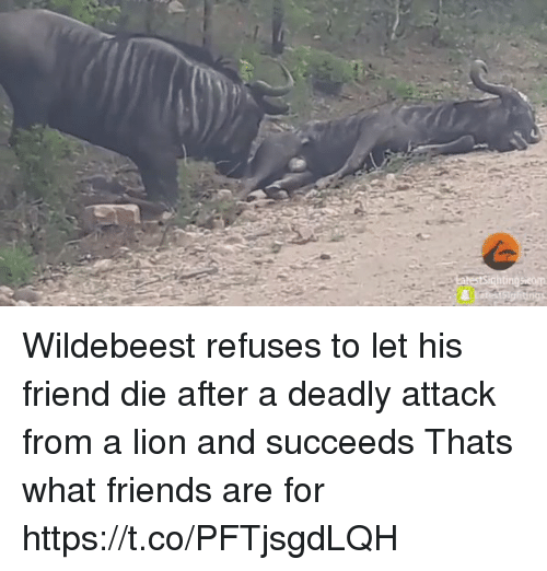 that's what friends are for: Wildebeest refuses to let his friend die after a deadly attack from a lion and succeeds Thats what friends are for https://t.co/PFTjsgdLQH