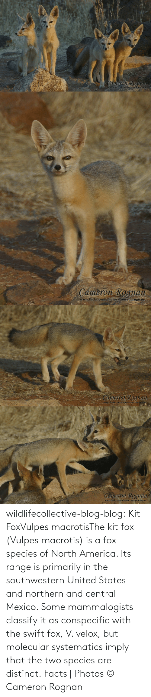 states: wildlifecollective-blog-blog:  Kit FoxVulpes macrotisThe kit fox (Vulpes macrotis) is a fox species of North America. Its range is primarily in the southwestern United States and northern and central Mexico. Some mammalogists classify it as conspecific with the swift fox, V. velox, but molecular systematics imply that the two species are distinct. Facts | Photos © Cameron Rognan