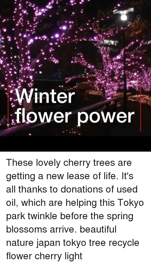 twinkle: Winter  flower power These lovely cherry trees are getting a new lease of life. It's all thanks to donations of used oil, which are helping this Tokyo park twinkle before the spring blossoms arrive. beautiful nature japan tokyo tree recycle flower cherry light