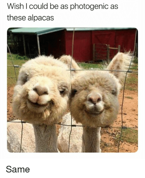Memes, 🤖, and Same: Wish l could be as photogenic as  these alpacas Same