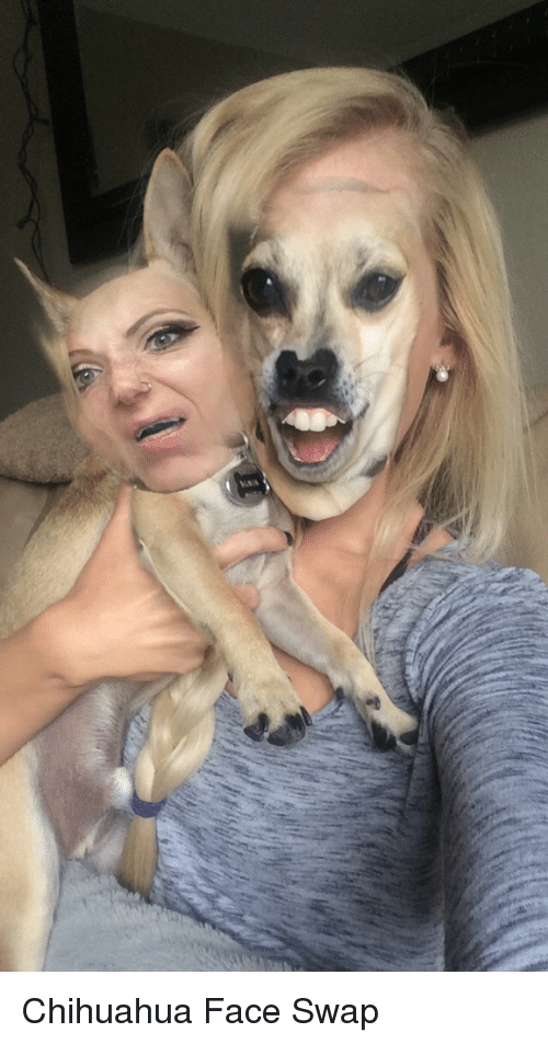 chihuahua meme face wiwyv chihuahua face swap chihuahua meme on sizzle 9115