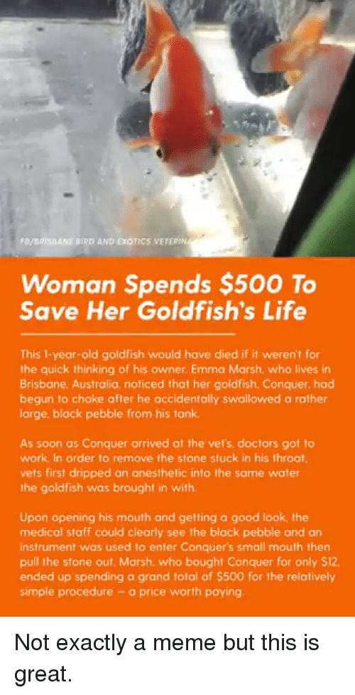 Goldfish, Life, and Meme: Woman Spends $500 To  Save Her Goldfish's Life  This 1-year-old goldfish would have died if it weren't for  the quick thinking of his owner. Emma Marsh, who lives in  Brisbane. Australia, noticed that her goldfish. Conquer, had  begun to choke after he accidentally swallowed a rather  large, black pebble from his tank  As soon as Conquer arrived at the vefs. doctors got to  work In order to remove the stone stuck in his throat,  vets first dripped an anesthetic into the same water  the goldfish was brought in with.  Upon opening his mouth and getting a good look, the  medical staff could clearly see the black pebble and an  instrument was used lo enier Conquer's small mouth then  pull the stone out. Marsh, who bought Conquer for only $12,  ended up spending a grand total of $500 for the relatively  simple procedure - a price worth paying Not exactly a meme but this is great.