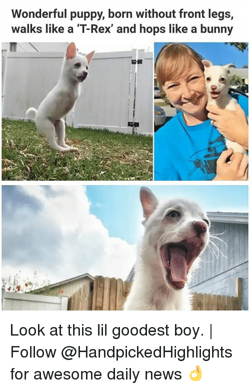 Memes, News, and Puppy: Wonderful puppy, born without front legs,  walks like a T-Rex, and hops like a bunny Look at this lil goodest boy. | Follow @HandpickedHighlights for awesome daily news 👌