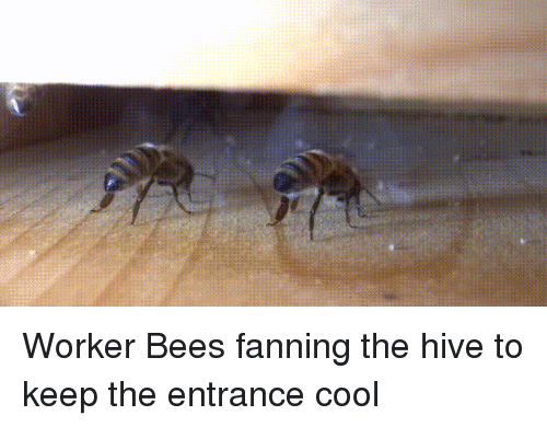 fanning: Worker Bees fanning the hive to keep the entrance cool