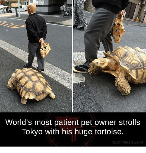 Memes, fb.com, and Patient: World's most patient pet owner strolls  Tokyo with his huge tortoise.  fb.com/factsweird