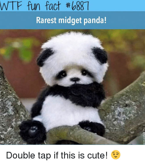Memes, Panda, and 🤖: WTF fun fact #088  Rarest midget panda! Double tap if this is cute! 😉