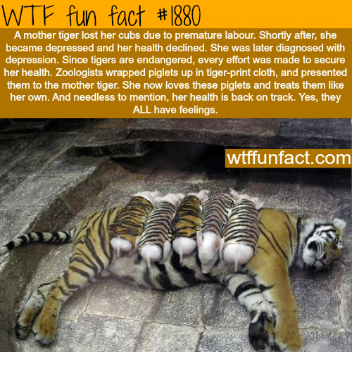 needless: WTF fun fact #1880  A mother tiger lost her cubs due to premature labour. Shortly after, she  became depressed and her health declined. She was later diagnosed with  depression. Since tigers are endangered, every effort was made to secure  her health. Zoologists wrapped piglets up in tiger-print cloth, and presented  them to the mother tiger. She now loves these piglets and treats them like  her own. And needless to mention, her health is back on track. Yes, they  ALL have feelings.  wtffunfact.com
