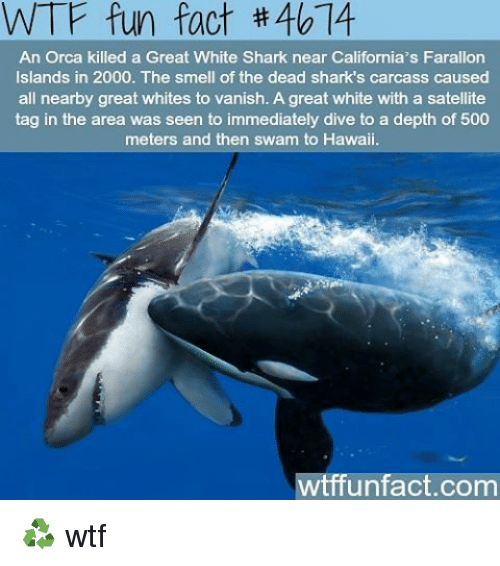 wtf fun facts: WTF fun fact 40 14  An Orca killed a Great White Shark near California's Farallon  Islands in 2000. The smell of the dead shark s carcass caused  all nearby great whites to vanish. A great white with a satellite  tag in the area was seen to immediately dive to a depth of 500  meters and then swam to Hawaii.  wtffunfact.com ♻ wtf