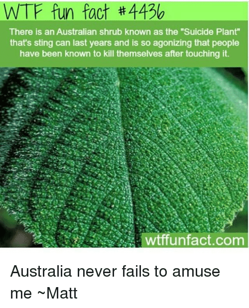 "Memes, Wtf, and Australia: WTF fun fact #4436  There is an Australian shrub known as the ""Suicide Plant""  that's sting can last years and is so agonizing that people  have been known to kill themselves after touching it  wtffunfact.com Australia never fails to amuse me ~Matt"