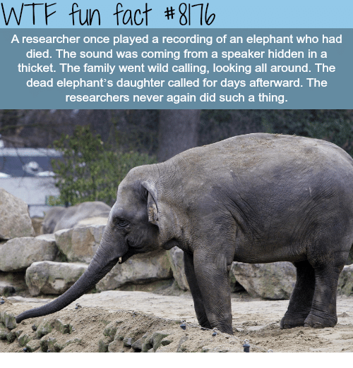 Family, Wtf, and Elephant: WTF fun fact #871  A researcher once played a recording of an elephant who had  died. The sound was coming from a speaker hidden in a  thicket. The family went wild calling, looking all around. The  dead elephant's daughter called for days afterward. The  researchers never again did such a thing.