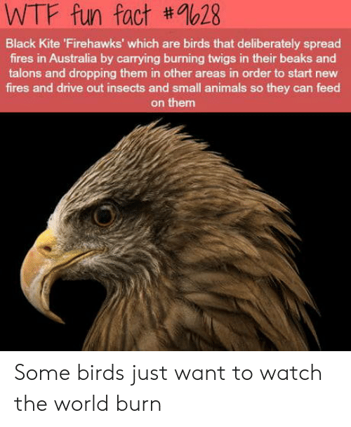 wtf fun fact: WTF fun fact #9628  Black Kite 'Firehawks' which are birds that deliberately spread  fires in Australia by carrying burning twigs in their beaks and  talons and dropping them in other areas in order to start new  fires and drive out insects and small animals so they can feed  on them Some birds just want to watch the world burn