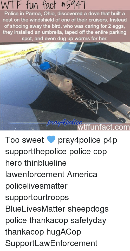 America, Dove, and Memes: WTF fun fact tha41  Police in Parma, Ohio, discovered a dove that built a  nest on the windshield of one of their cruisers. Instead  of shooing away the bird, who was caring for 2 eggs,  they installed an umbrella, taped off the entire parking  spot, and even dug up worms for her.  Wtff unfact.com Too sweet 💙 pray4police p4p supportthepolice police cop hero thinblueline lawenforcement America policelivesmatter supportourtroops BlueLivesMatter sheepdogs police thankacop safetyday thankacop hugACop SupportLawEnforcement