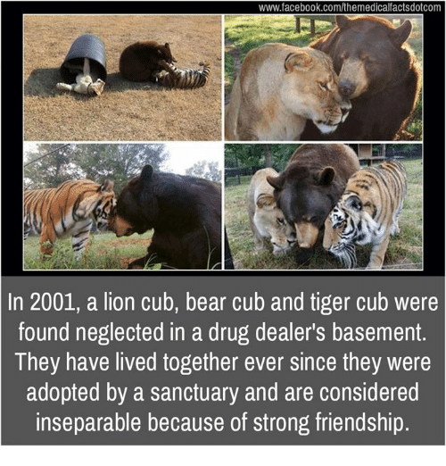 Considence: www.facebook.com/themedicalfactsdotcom  In 2001, a lion cub, bear cub and tiger cub were  found neglected in a drug dealer's basement  They have lived together ever since they were  adopted by a sanctuary and are considered  inseparable because of strong friendship.