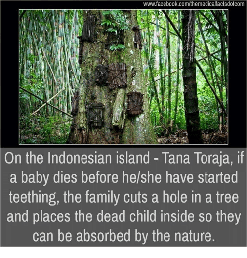 Memes, Holes, and Trees: www.facebook.com/themedicalfactsdotcom  On the Indonesian island Tana Toraja, if  a baby dies before he/she have started  teething, the family cuts a hole in a tree  and places the dead child inside so they  can be absorbed by the nature.